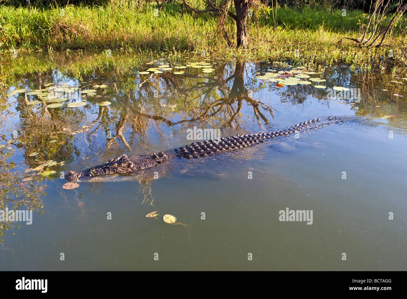 A large Saltwater (Estuarine) Crocodile (Crocodylus porosus) at Yellow Water Billabong in Kakadu National Park. - Stock Image