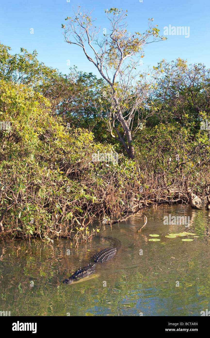 A large Saltwater (Estuarine) Crocodile (Crocodylus porosus) at Yellow Water Billabong in Kakadu National Park. - Stock Image