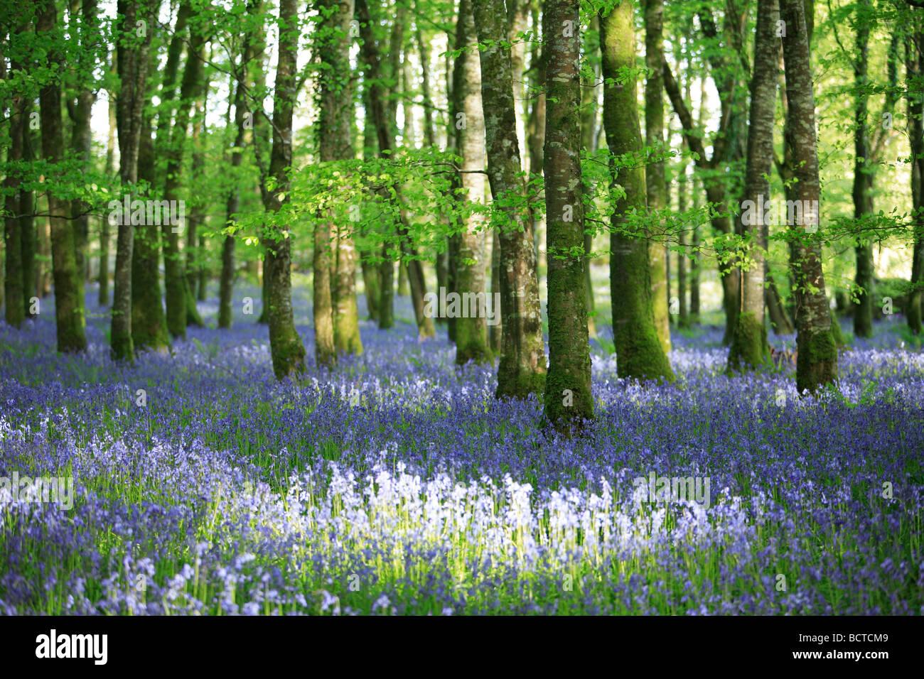 Bluebells  in  beech  woods - Stock Image
