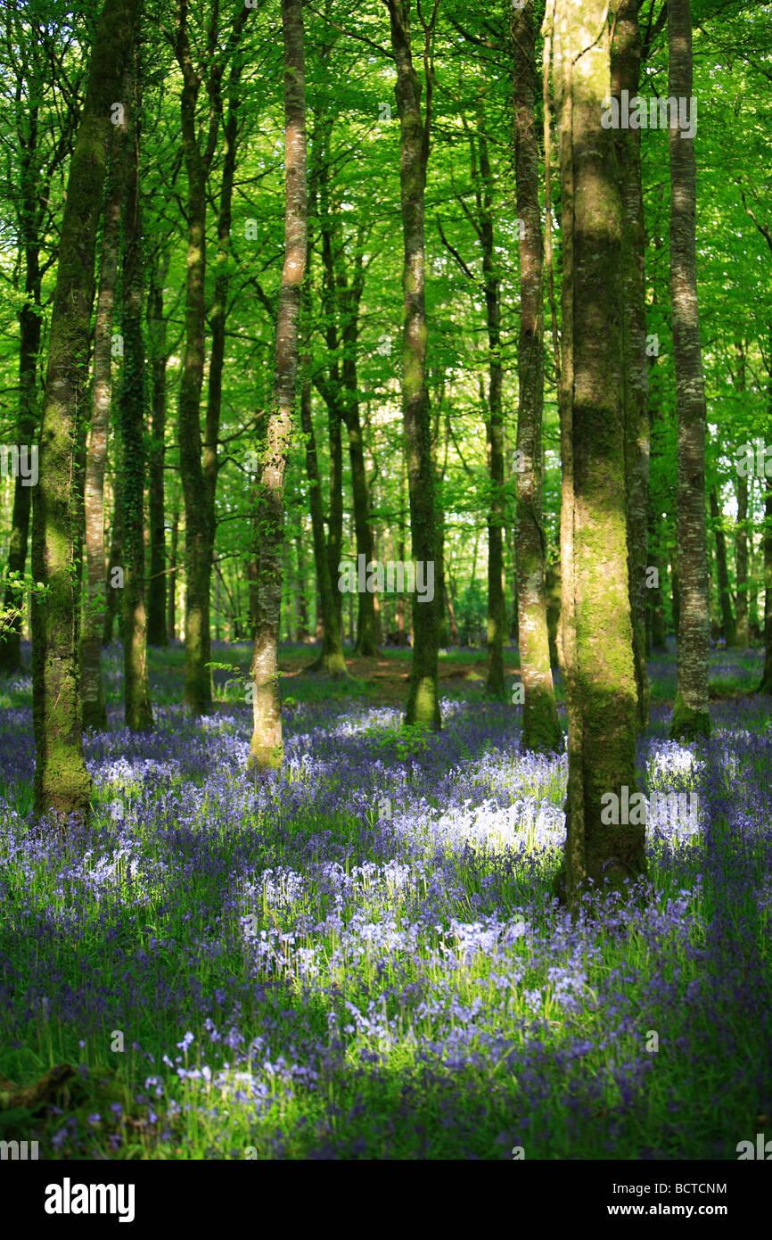 Bluebells in sun dappled woods - Stock Image
