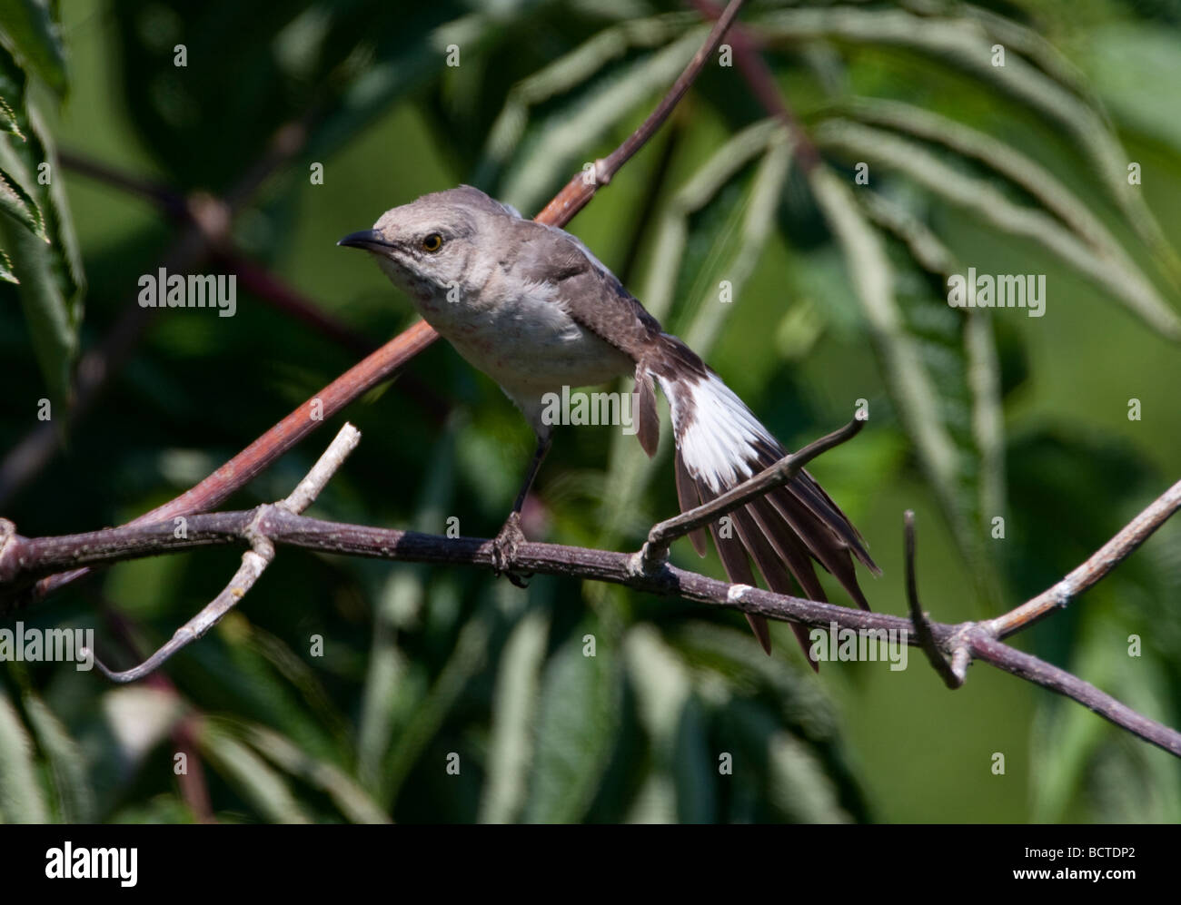 Northern Mockingbird Mimus polyglottos perched in a tree after feeding on berries in Nanaimo Vancouver Island BC Stock Photo