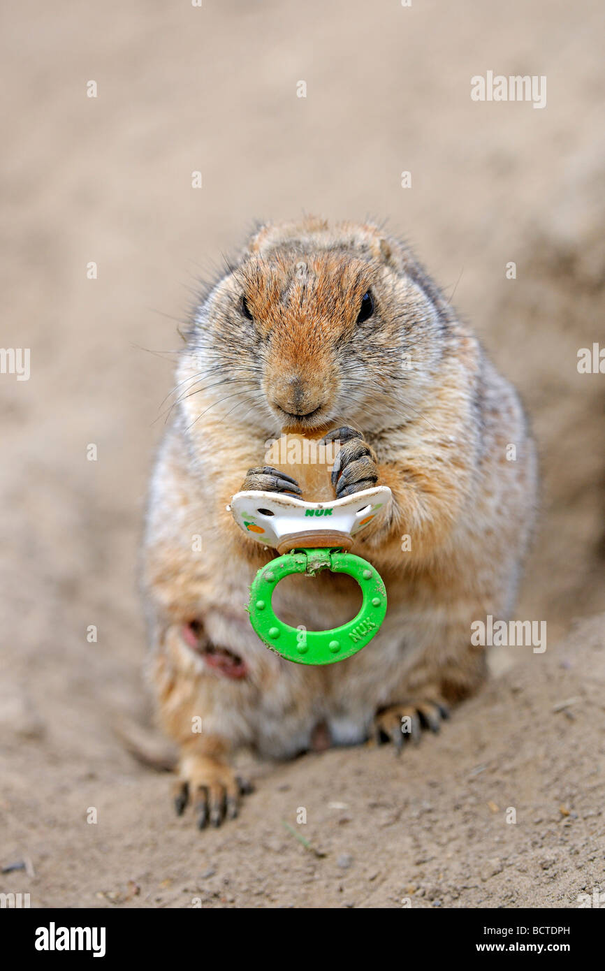 Black-tailed Prairie Dog (Cynomys ludovicianus), young, playing with a pacifier - Stock Image