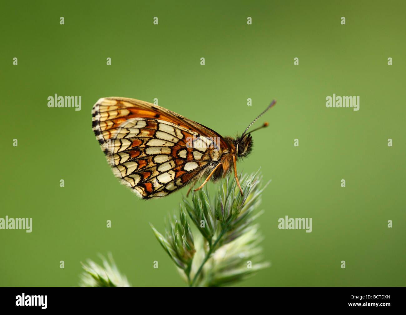 Heath Fritillary (Mellicta athalia), Austria, Europe - Stock Image