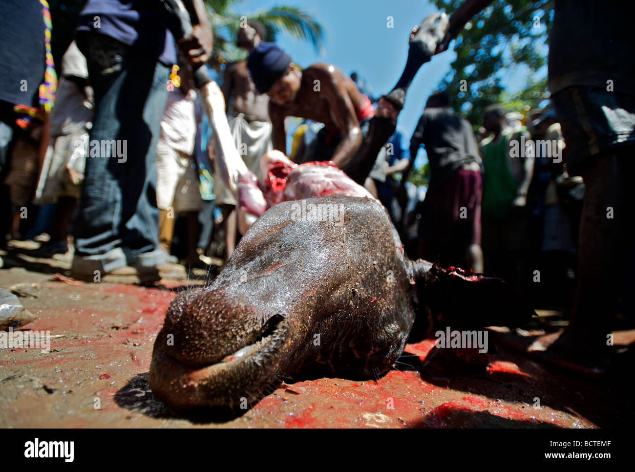 A group of pilgrims sacrifice a cow during the annual voodoo festival held in Plaine du Nord, Haiti, on July 24, - Stock Image