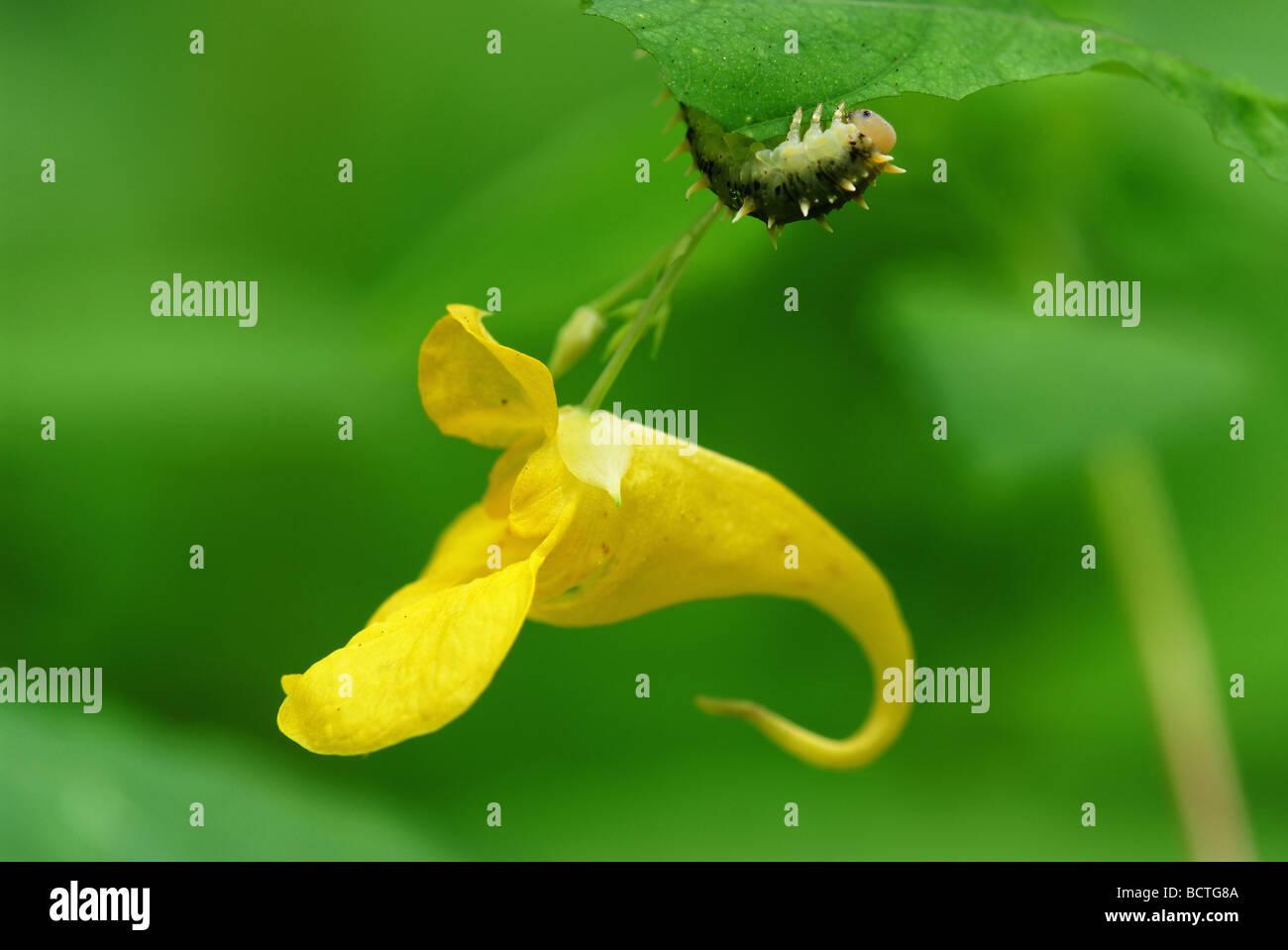yellow balsam flower (Impatiens noli-tangere) and caterpillar Stock Photo