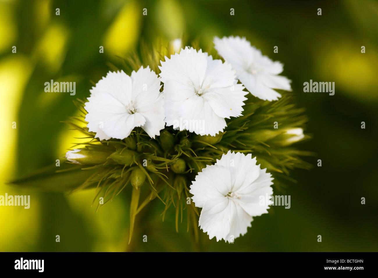 Sweet William (Dianthus barbatus) - Stock Image