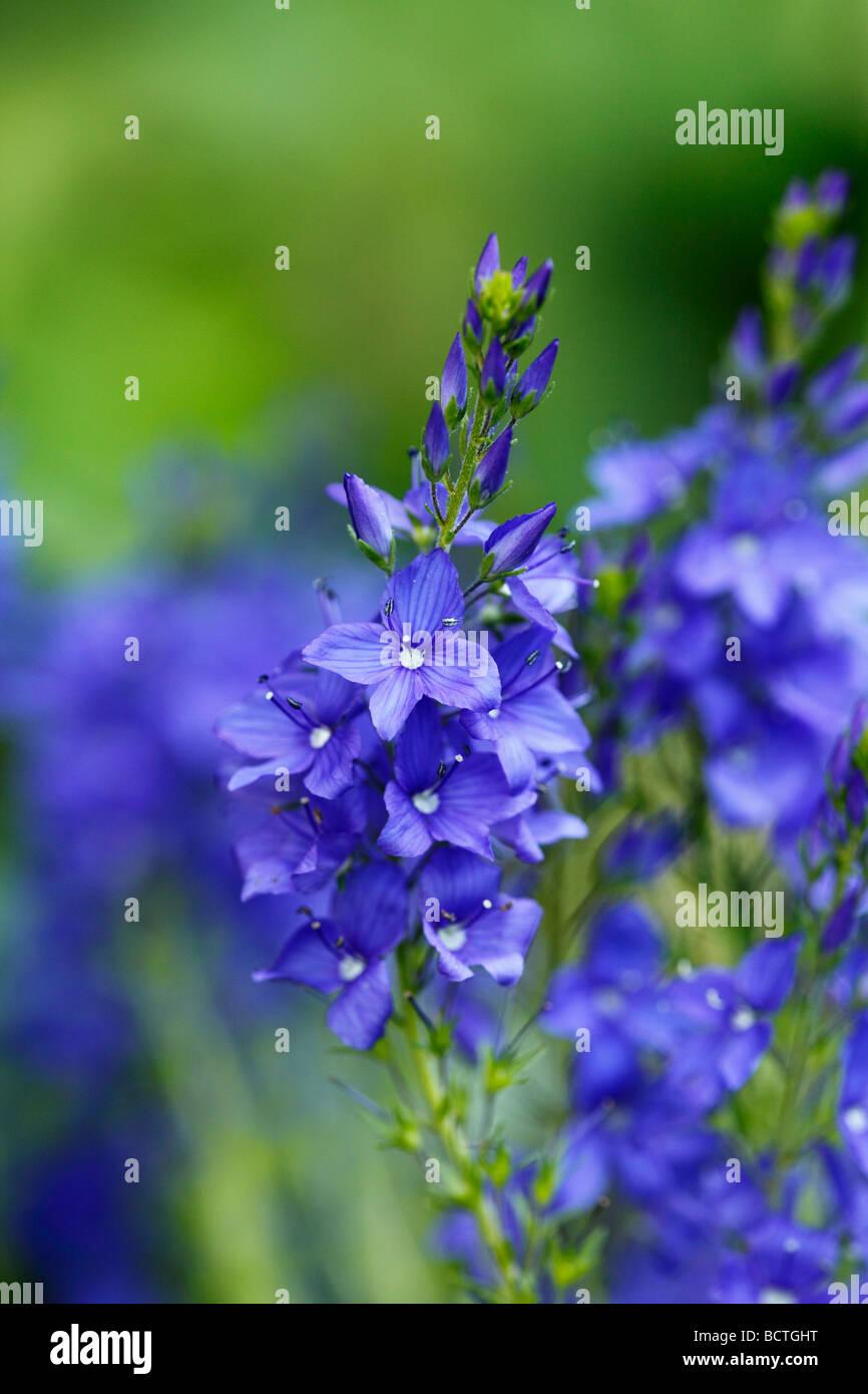 Broadleaf Speedwell (Veronica austriaca ssp. Teucrium) Stock Photo