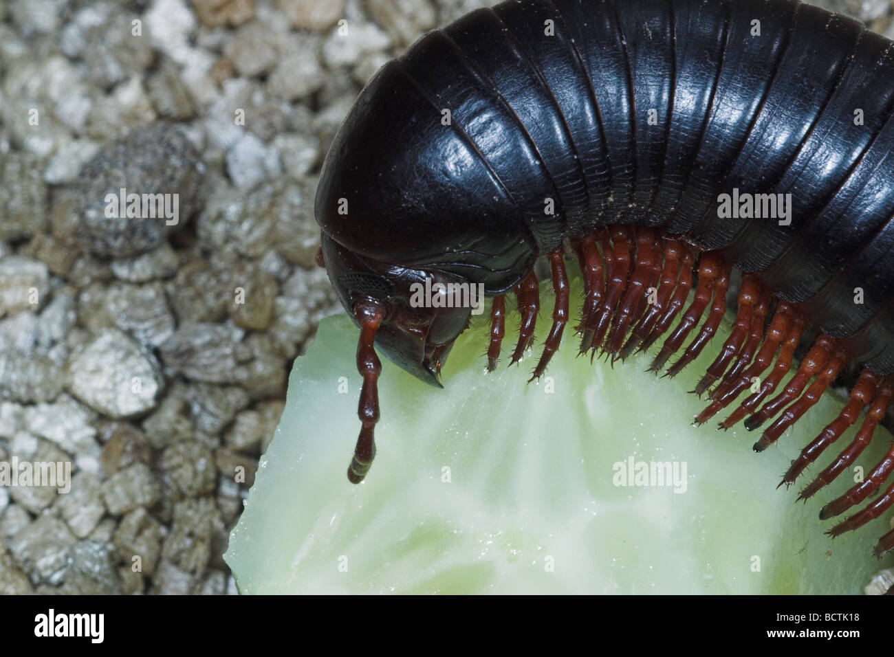 Pet Giant African millipede feeding on cucumber Stock Photo