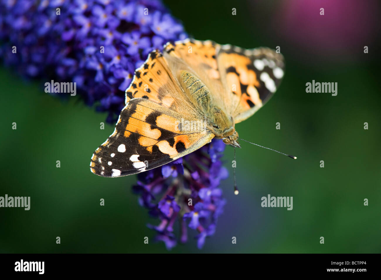 Vanessa cardui. Painted Lady butterfly feeding on buddleja in an english garden - Stock Image