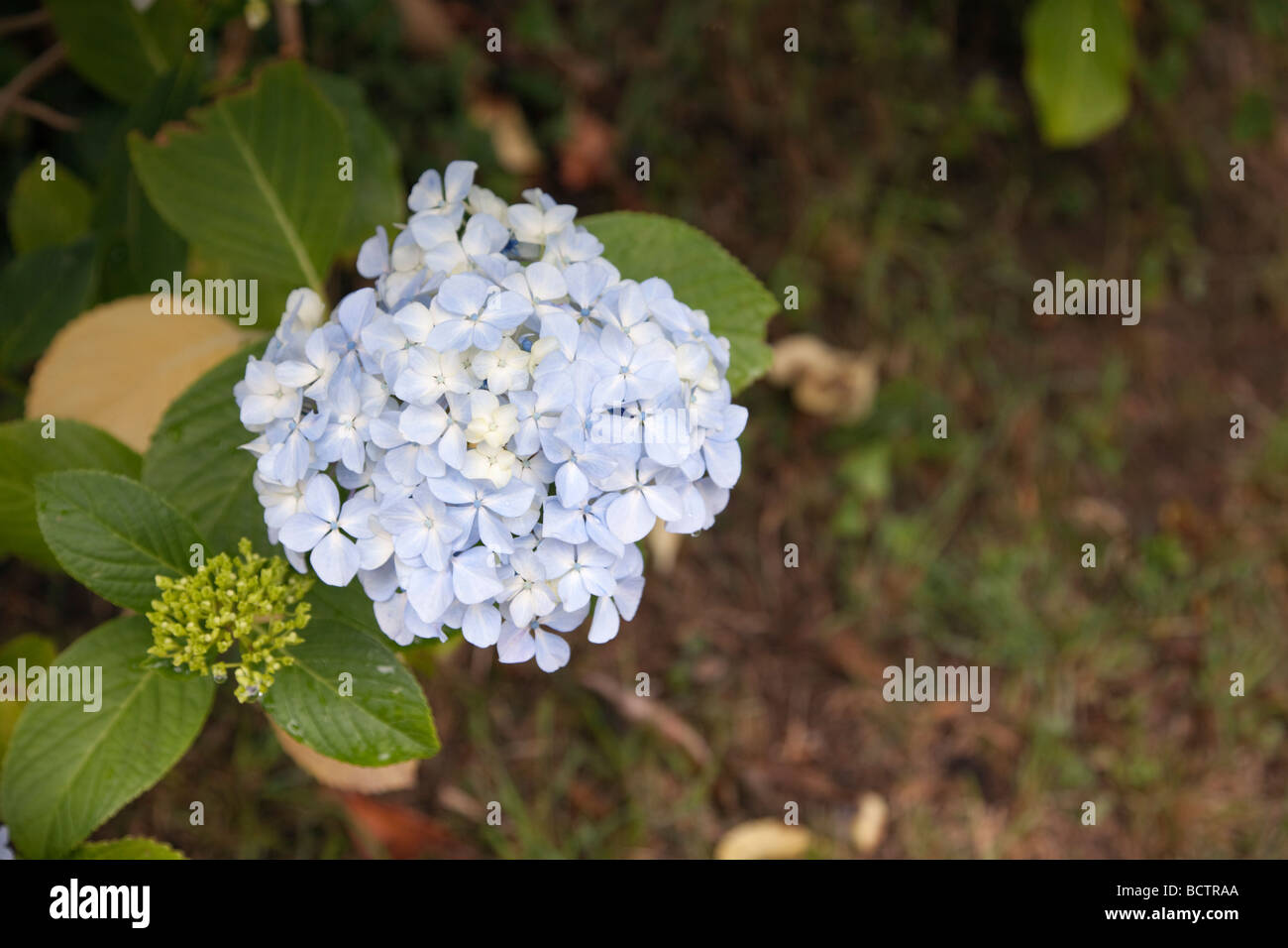 Britain UK Close up of blue Hydrangea flower head - Stock Image