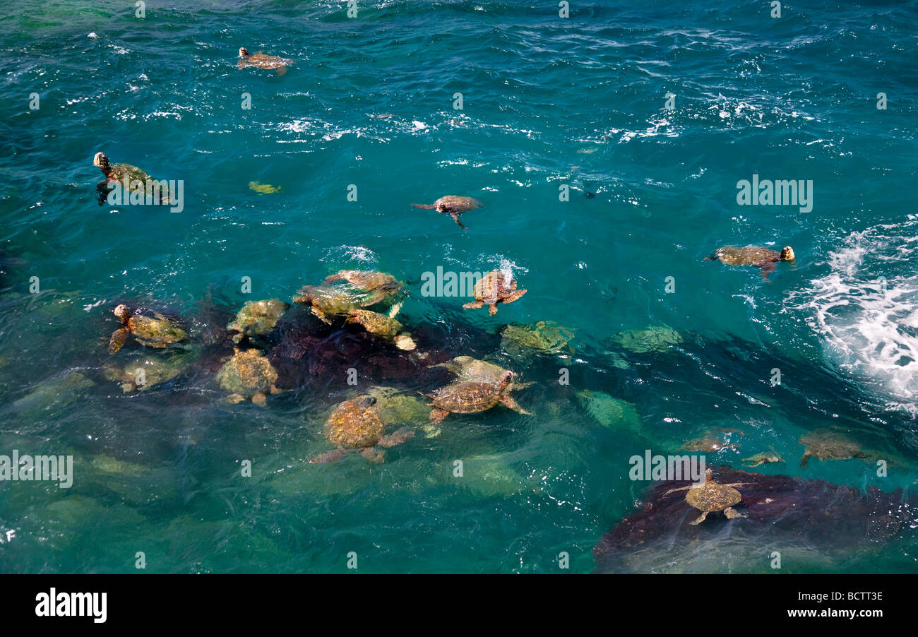 Green Sea Turtles Chelonia mydas Kauai coast Hawaii Stock Photo