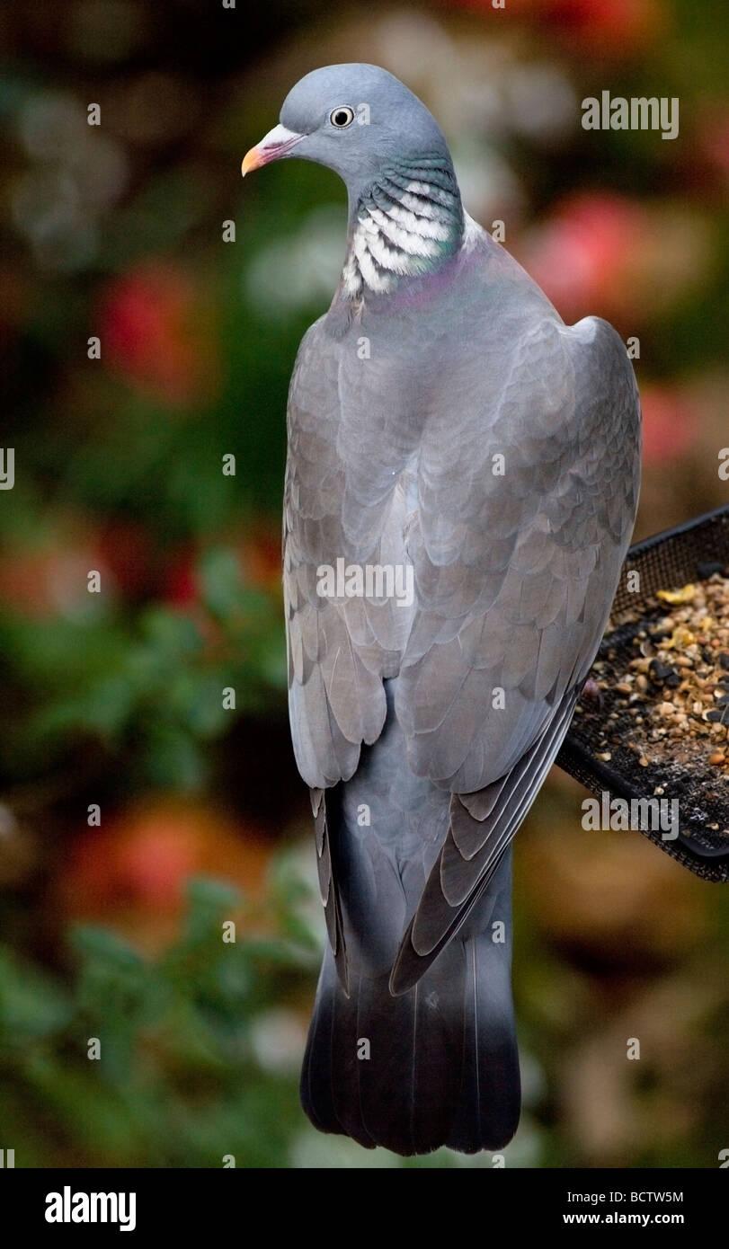 Wood Pigeon (columba palambus) sitting on bird feeder tray, UK - Stock Image