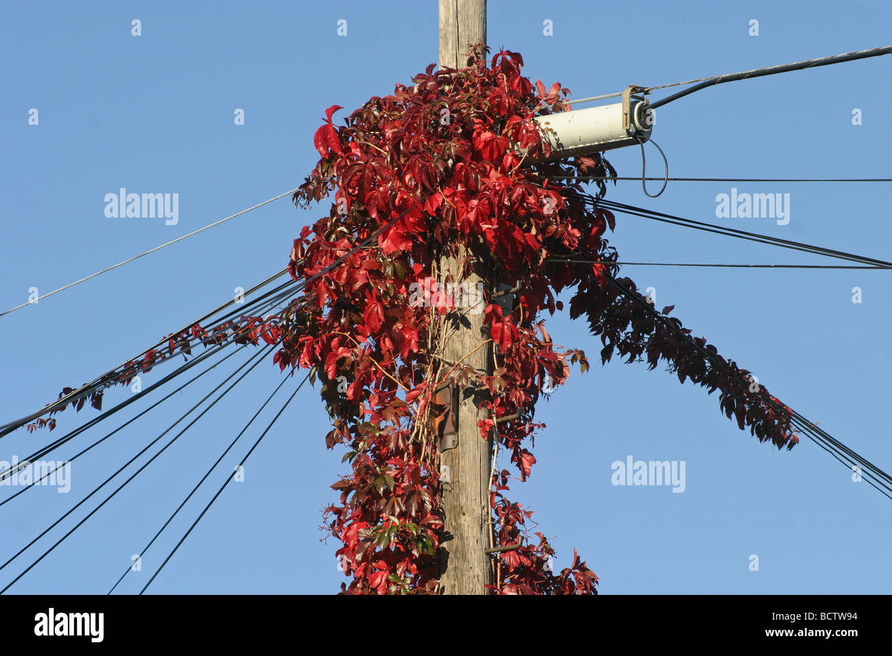 autumn red ivy leaves on a telephone pole with wires Stock Photo ...