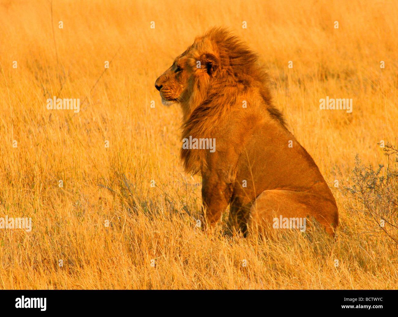 Lion (Panthera leo) in the tall grass, Okavango Delta, Botswana - Stock Image