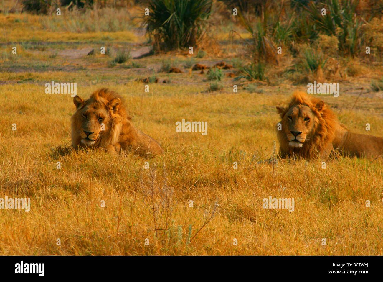 Two lions (Panthera leo) stalking games, Okavango Delta, Botswana - Stock Image