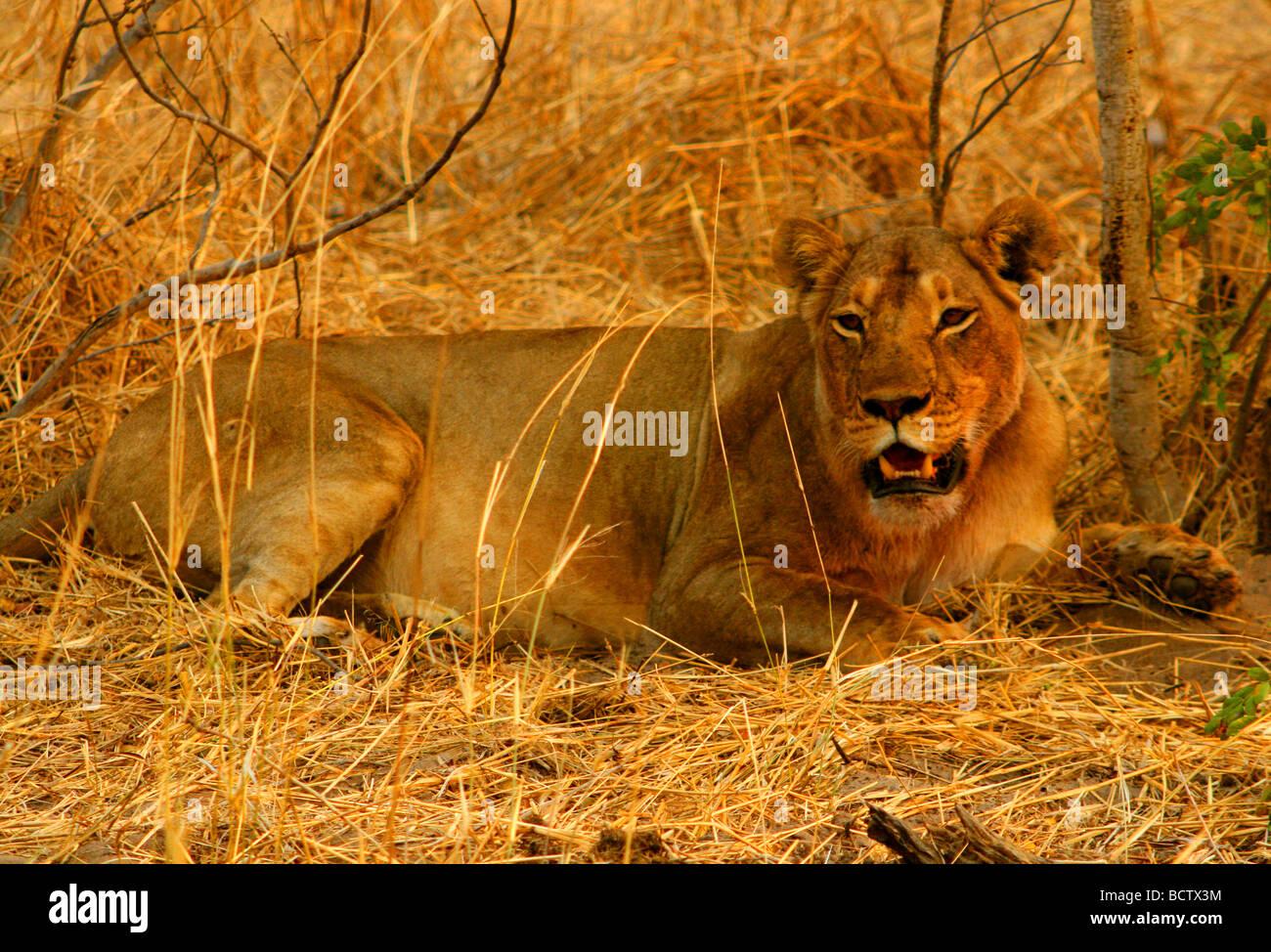 Lion (Panthera leo) sitting in a forest, Okavango Delta, Botswana - Stock Image