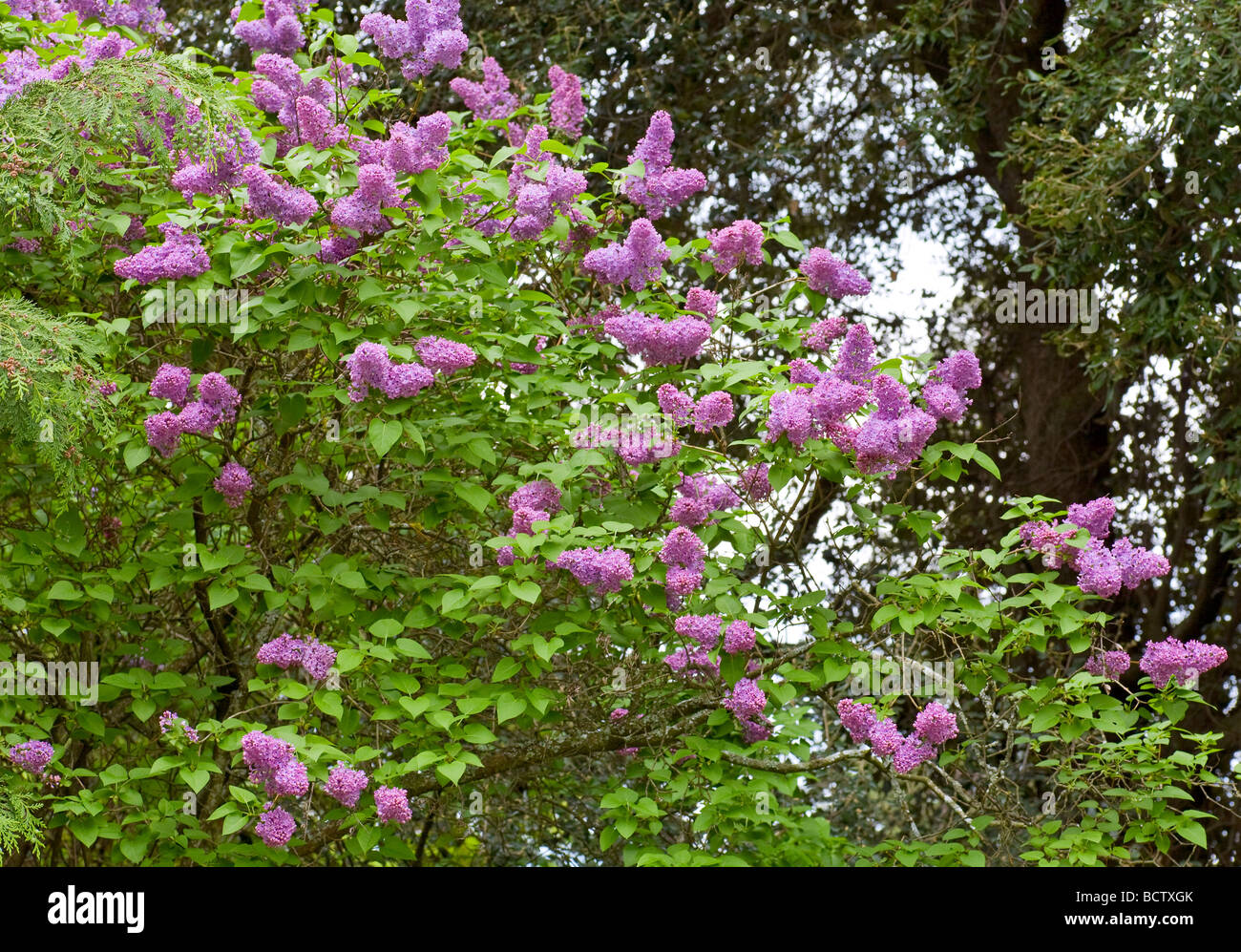 Blossom Lilac Tree With Violet Flowers In Spring Park Stock Photo