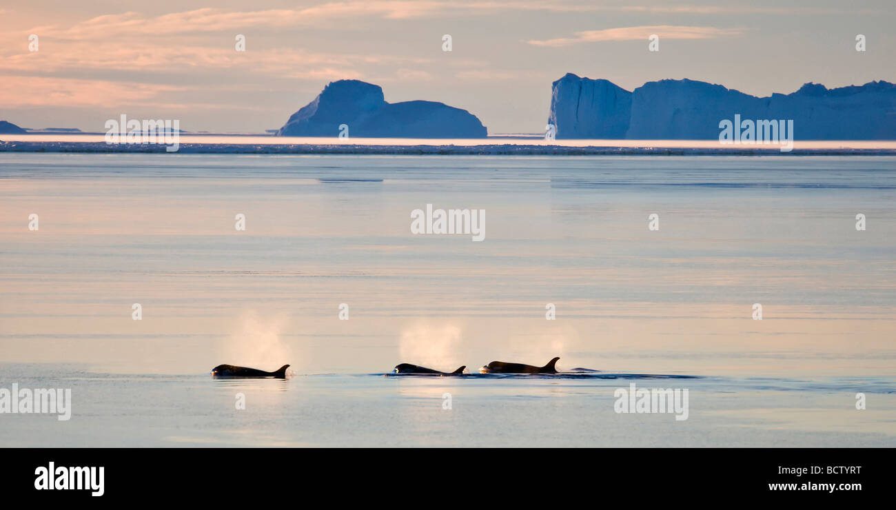 Orcas in the polar night, near Mawson Satation, Antarctica - Stock Image