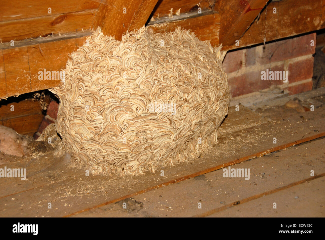 Wasps' nest in domestic loft - Stock Image