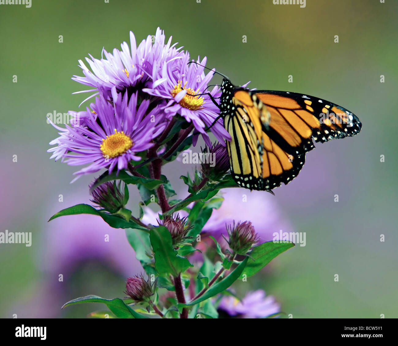 Close-up of a Monarch butterfly (Danaus plexippus) sucking nectar from a flower - Stock Image