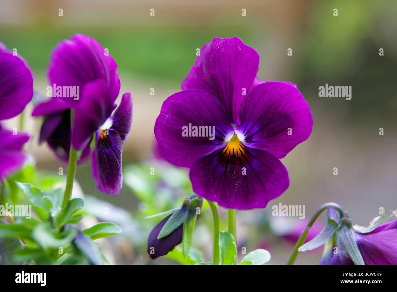 Purple pansy - Stock Image