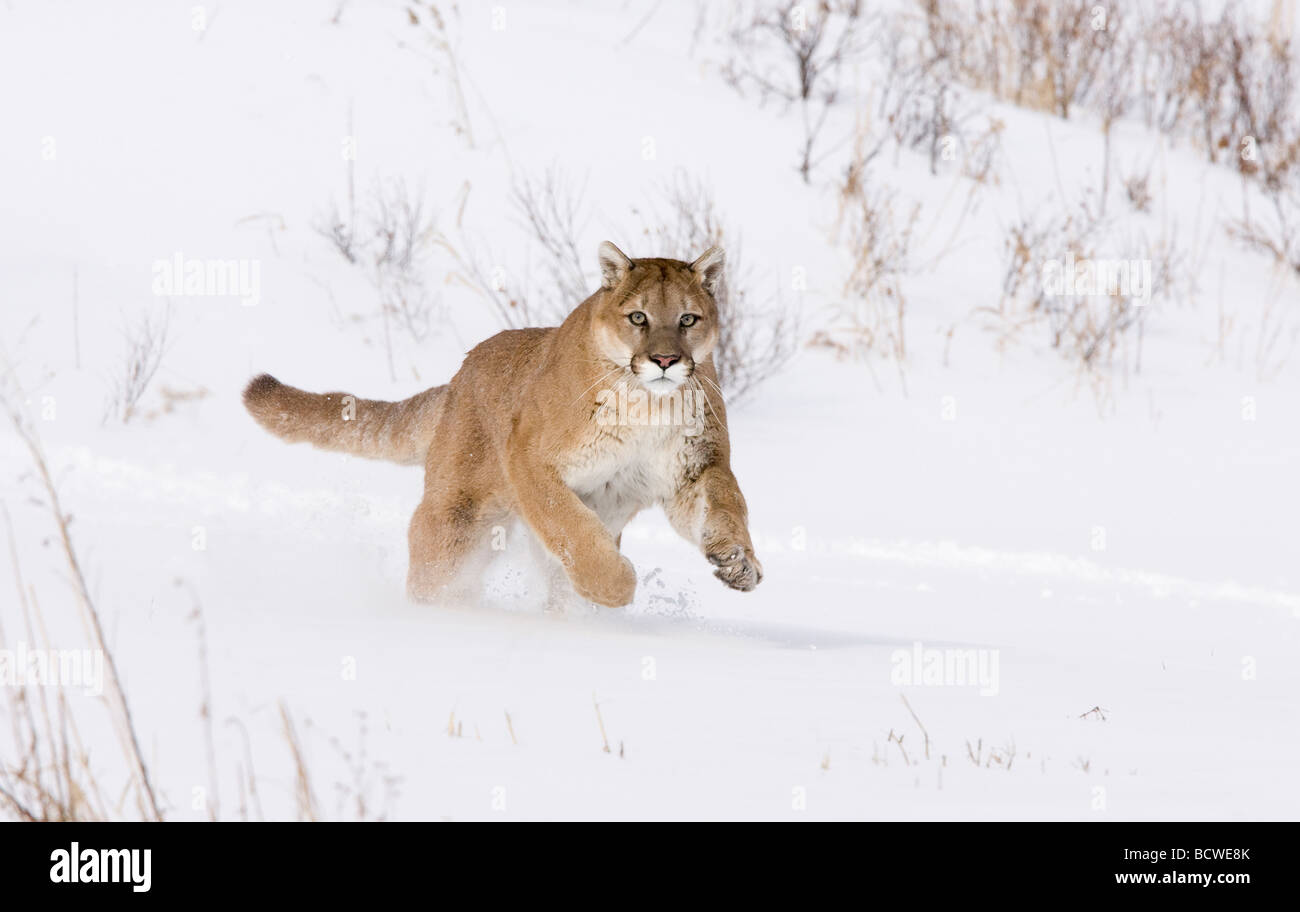 Mountain lion (Puma concolor) running in a snow covered field - Stock Image