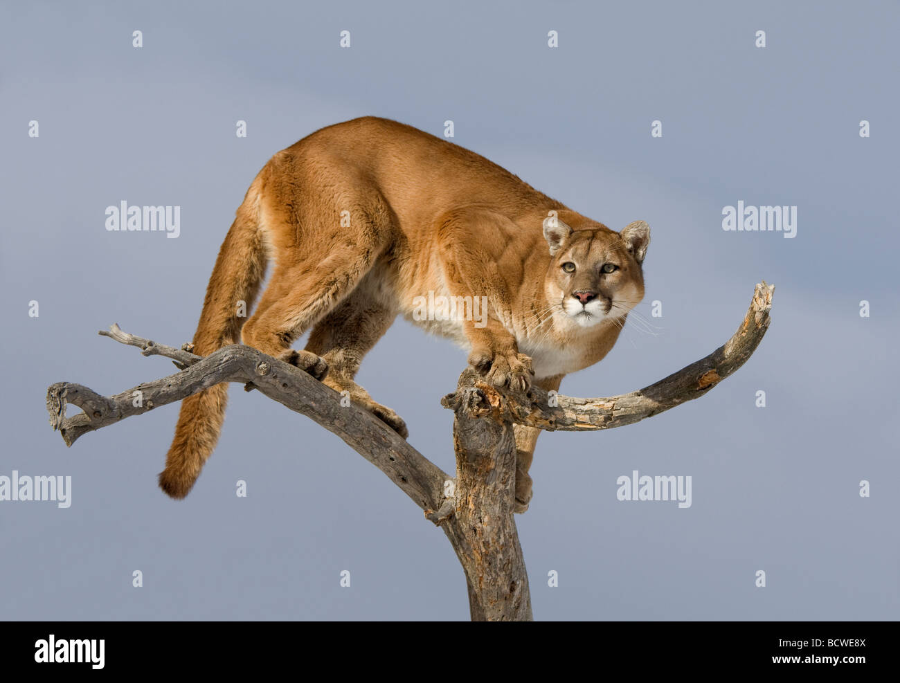 Mountain lion (Puma concolor) standing on a tree - Stock Image