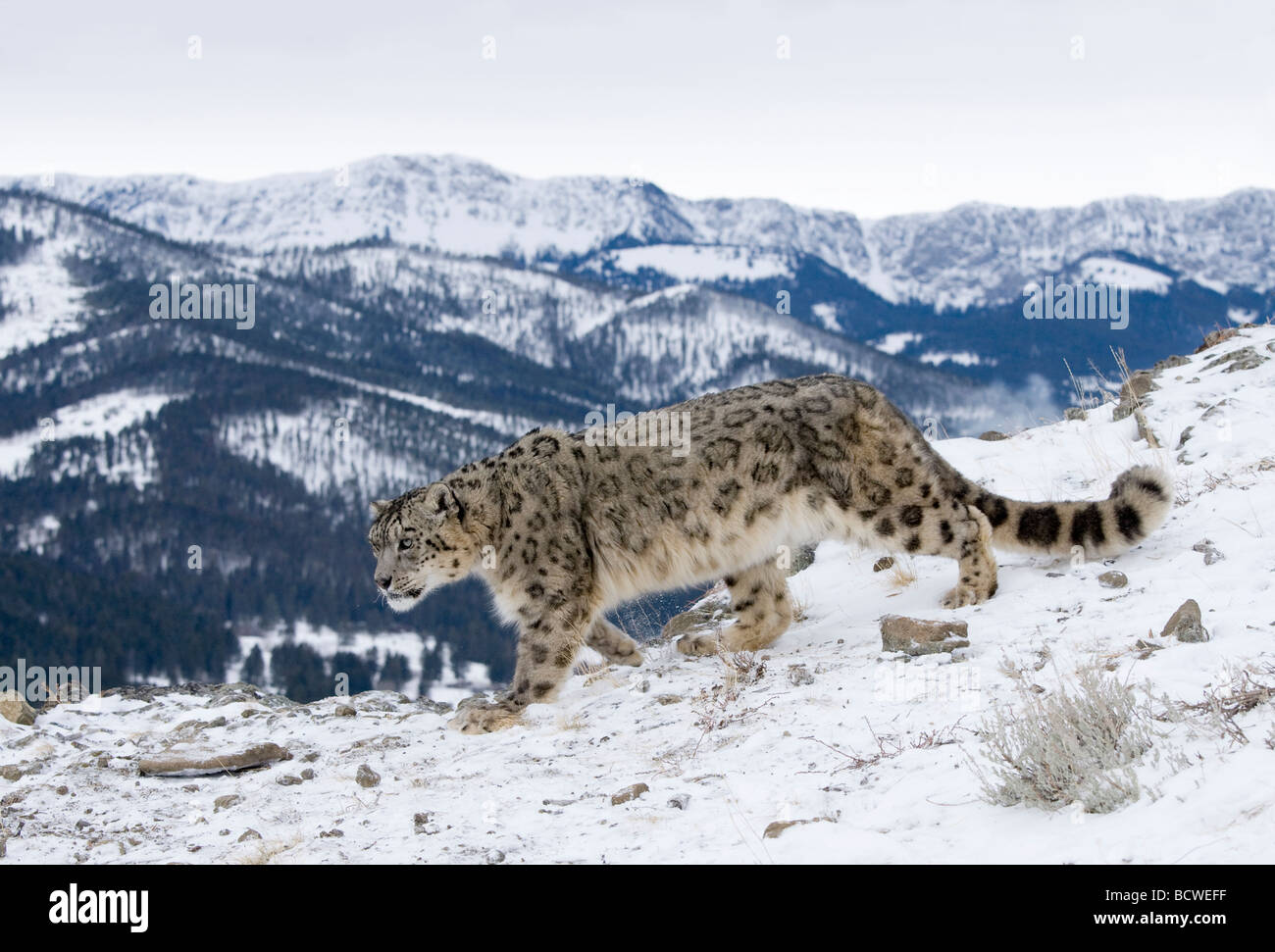 Snow leopard (Panthera uncia) walking in snow Stock Photo