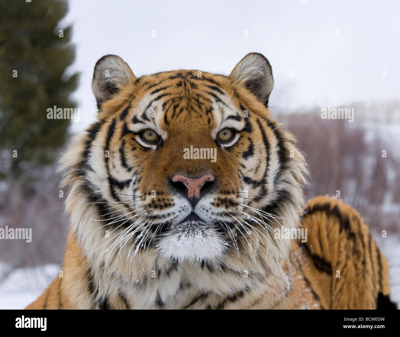 Close-up of a Siberian tiger (Panthera tigris altaica) - Stock Image