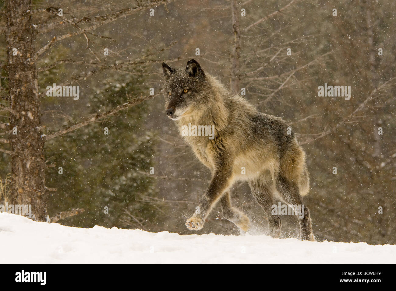 Gray wolf (Canis lupus) running in a snow covered field Stock Photo