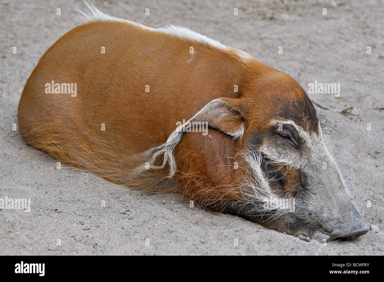 Red River Hog (Potamochoerus porcus), African Bush Pig - Stock Image