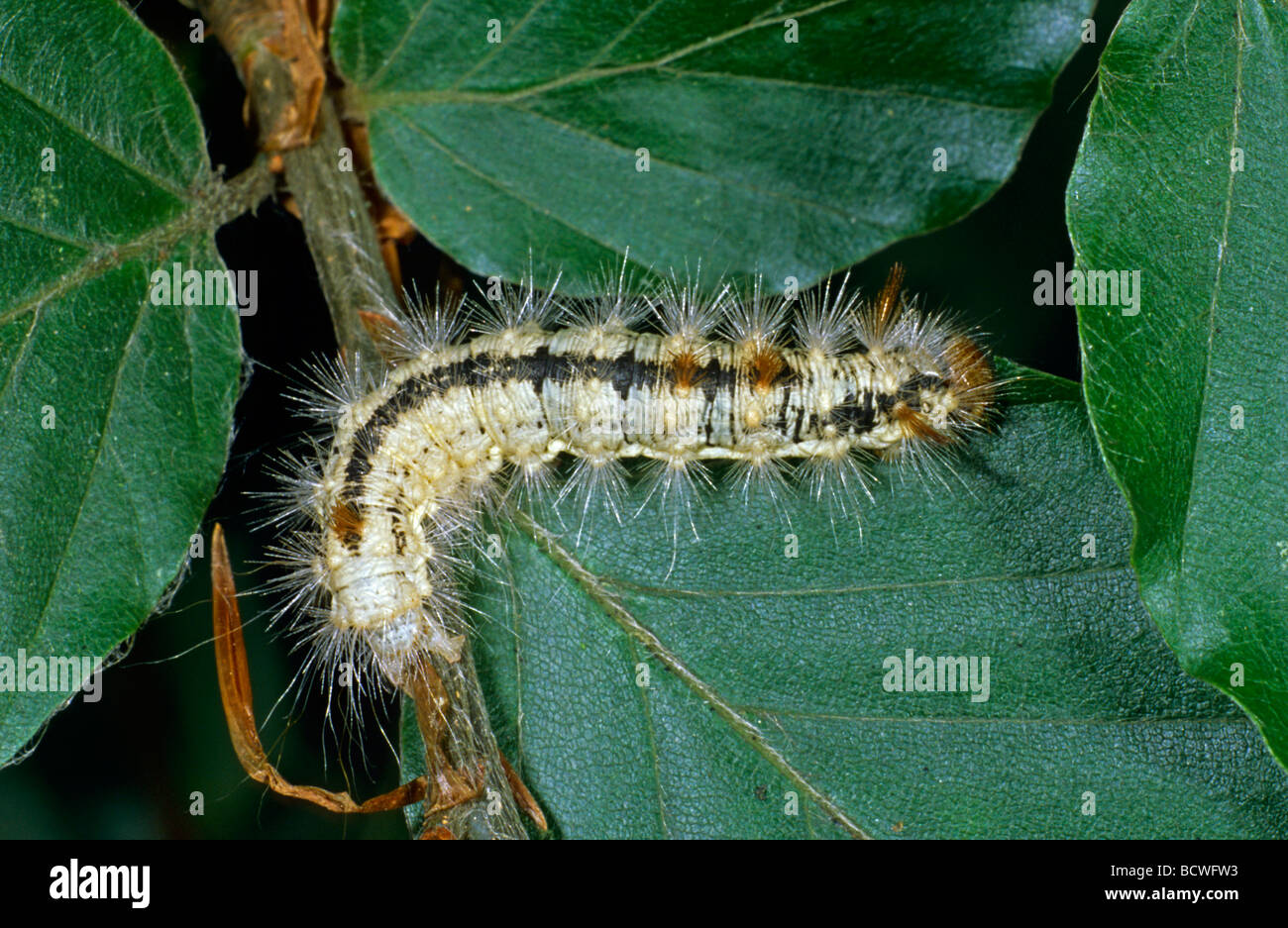 Nut-tree tussock (Colocasia coryli), caterpillar - Stock Image