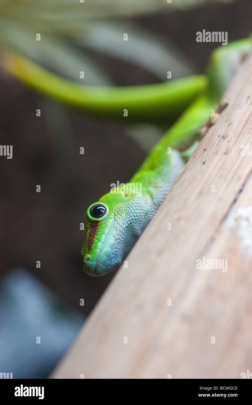 Madagascan Day Gecko (Phelsuma madagascariensis) - Stock Image