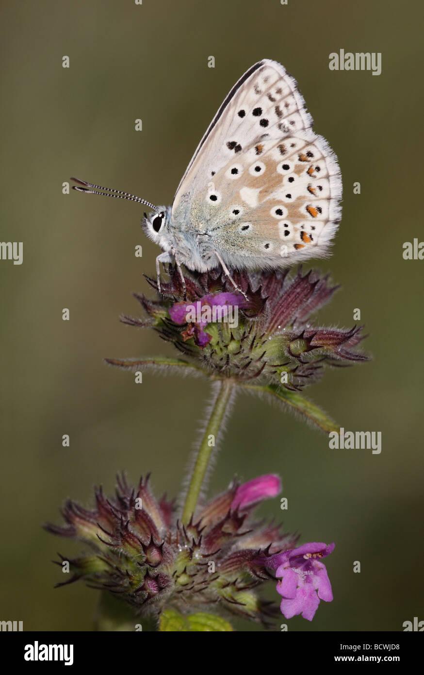 Chalkhill Blue Butterfly, Lysandra coridon, Hampshire, England, UK - Stock Image