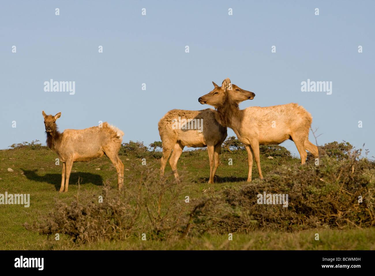 A herd of Tule Elk Point Reyes California - Stock Image