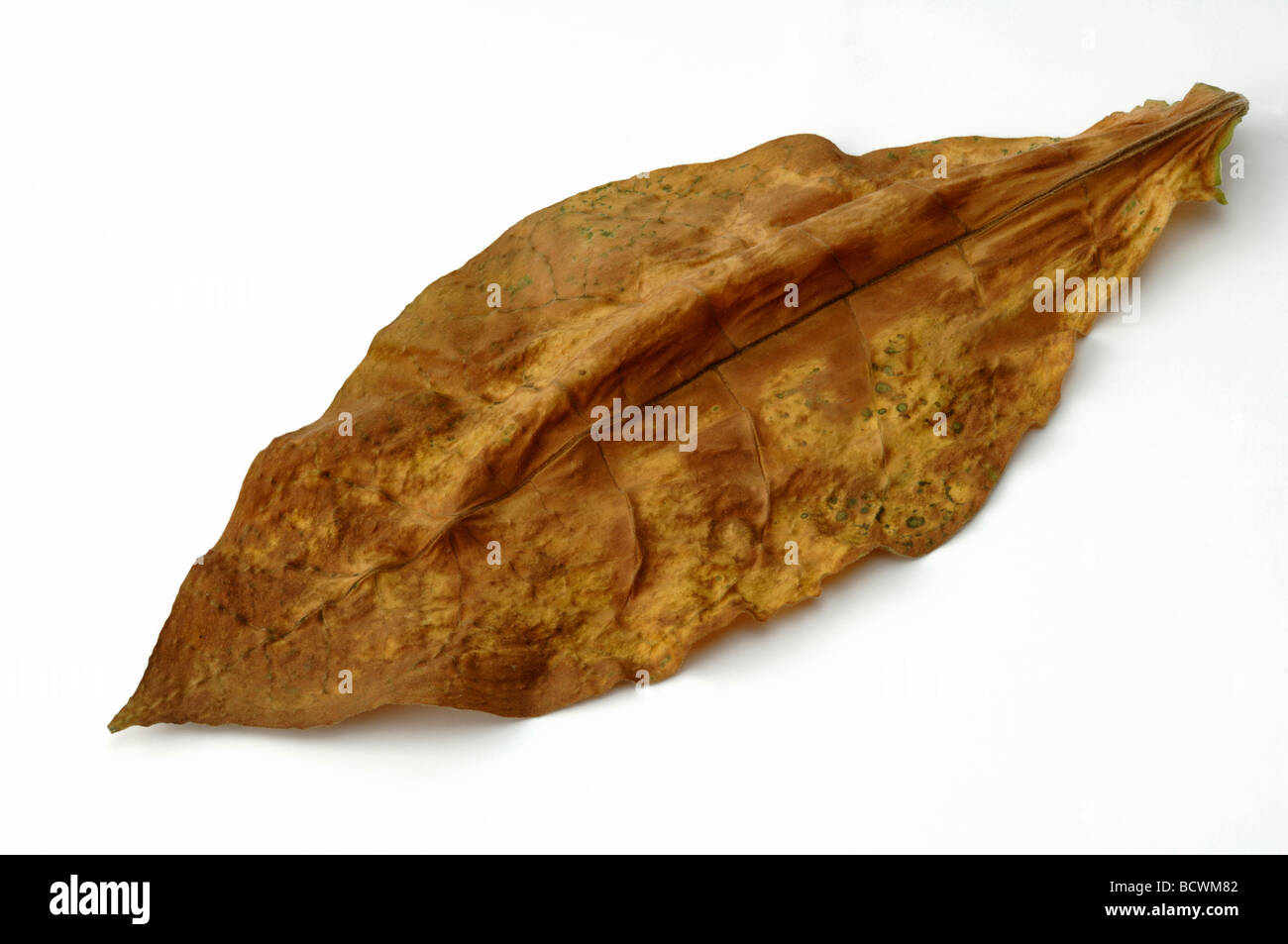 Common Tobacco, Tobacco (Nicotiana tabacum), dried leaf, studio picture - Stock Image