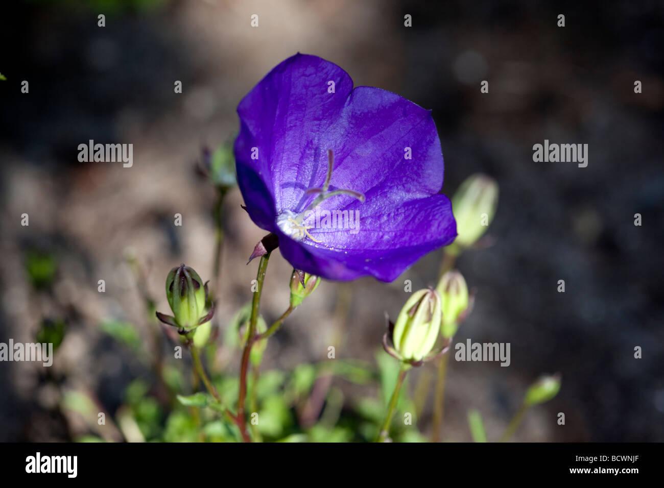 'Blue Clips, Blaue Clips' Carpathian harebell, Karpaterklocka (Campanula carpatica) - Stock Image
