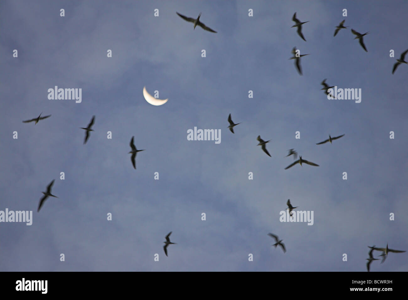 Sooty Tern Sterna fuscata flock circling the skies before roosting on Bird Island, Seychelles in April. Stock Photo