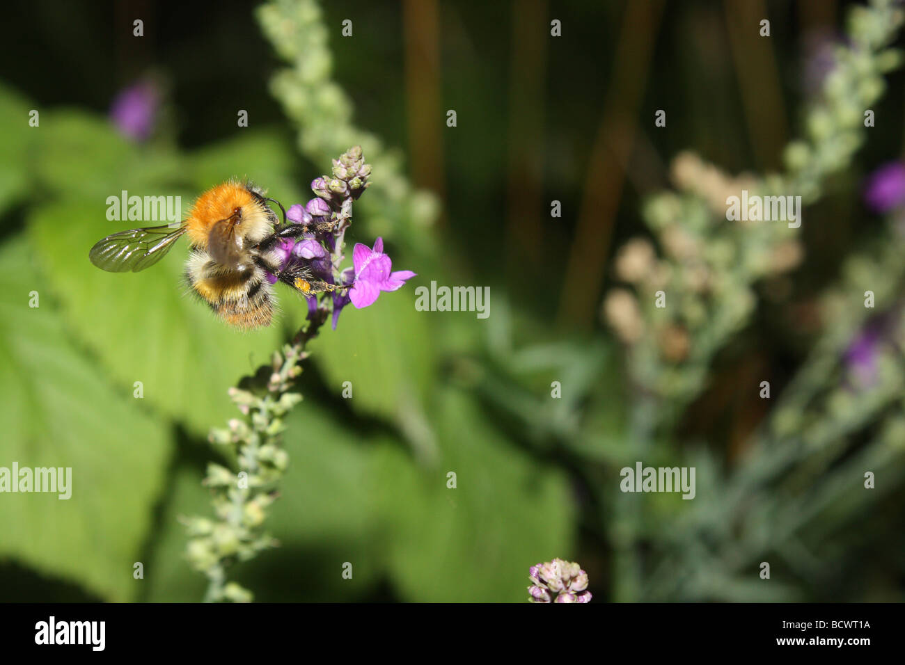 A bee feeding on nectar from a buddleia flower - Stock Image