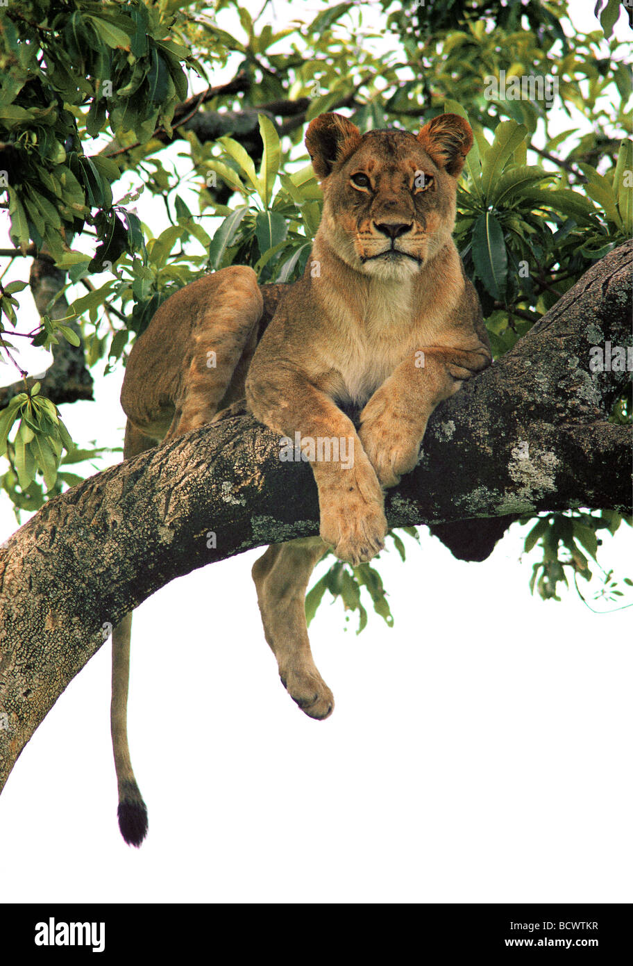 Tree climbing lioness resting on branch in Fig tree FICUS Masai Mara National Reserve Kenya East Africa - Stock Image