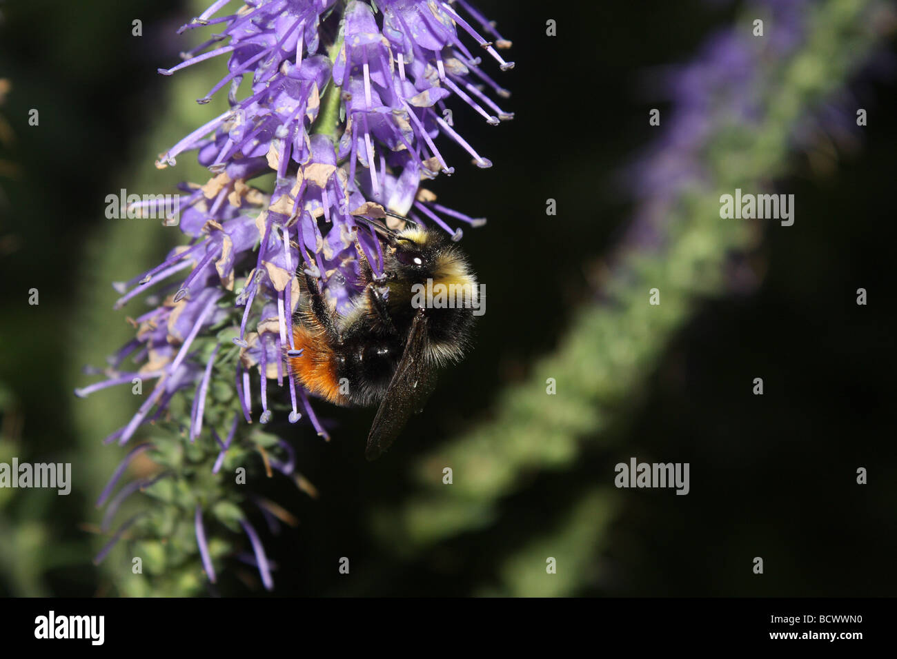 A bumble bee feeding on nectar from Buddleia flowers. - Stock Image