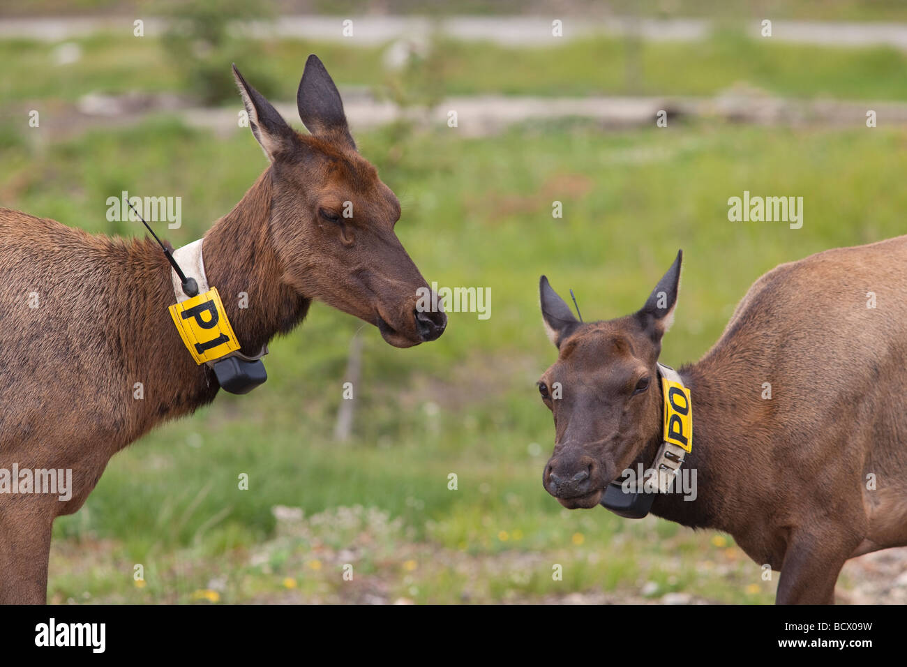 Rocky Mountain National Park Colorado Two radio collared cow elk - Stock Image