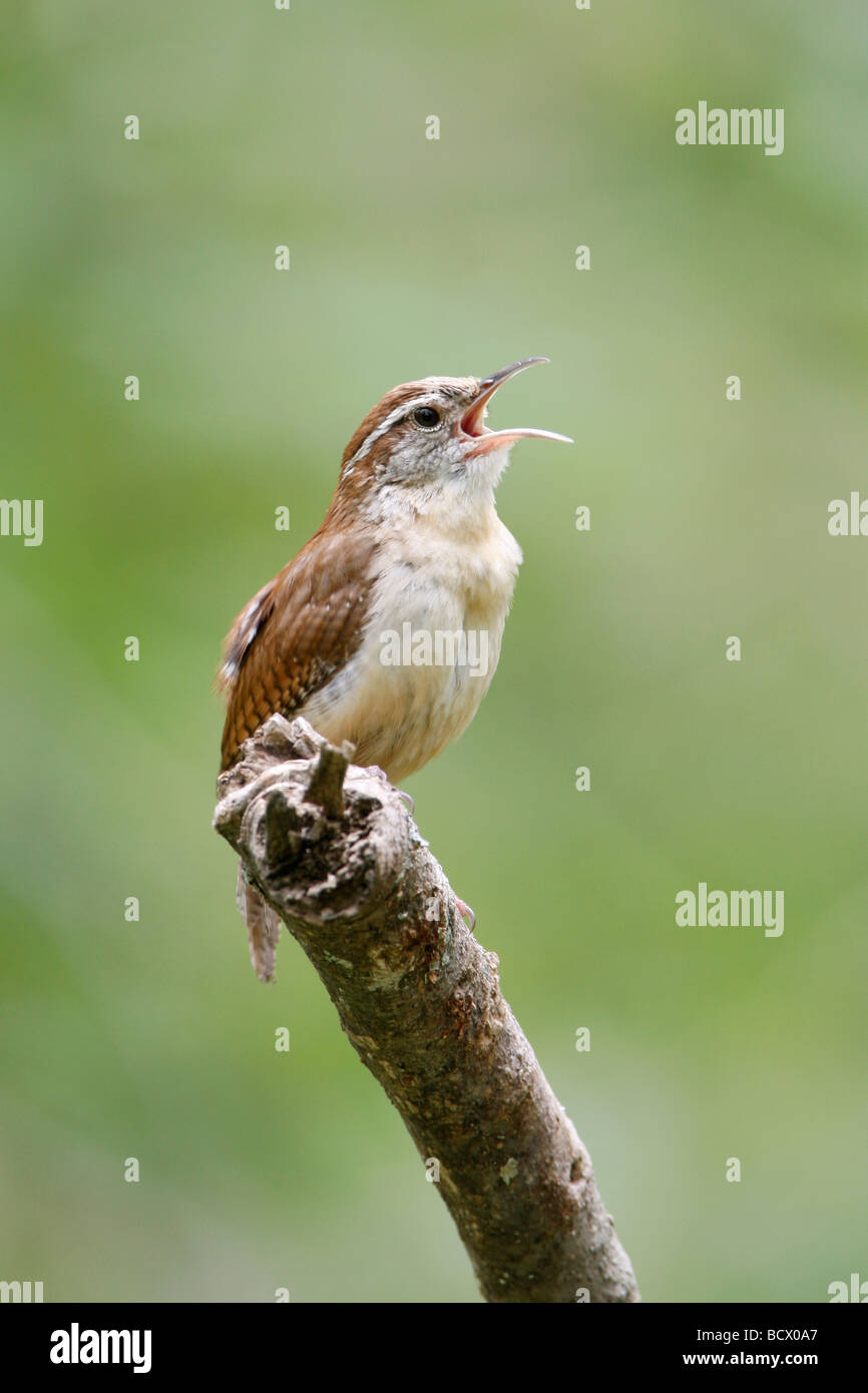 Singing Carolina Wren - Vertical - Stock Image