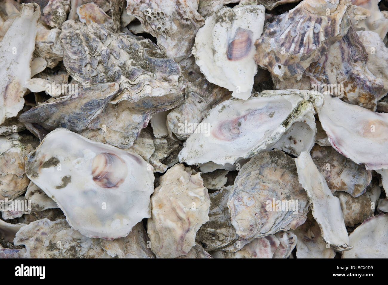 Oyster Shells piled for reseeding beds. - Stock Image