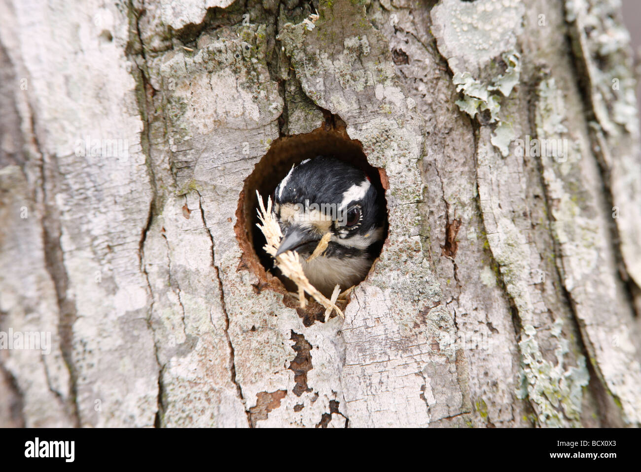 Downy Woodpecker Expelling Wood Chips from Nest - Stock Image