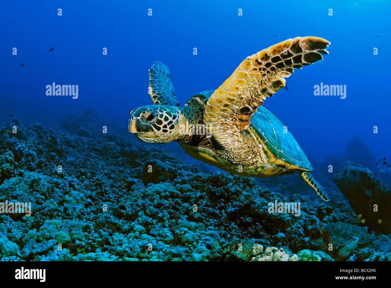 green sea turtle, Chelonia Mydas, Hawaii, USA, Kona, Big Island, Pacific Ocean Stock Photo