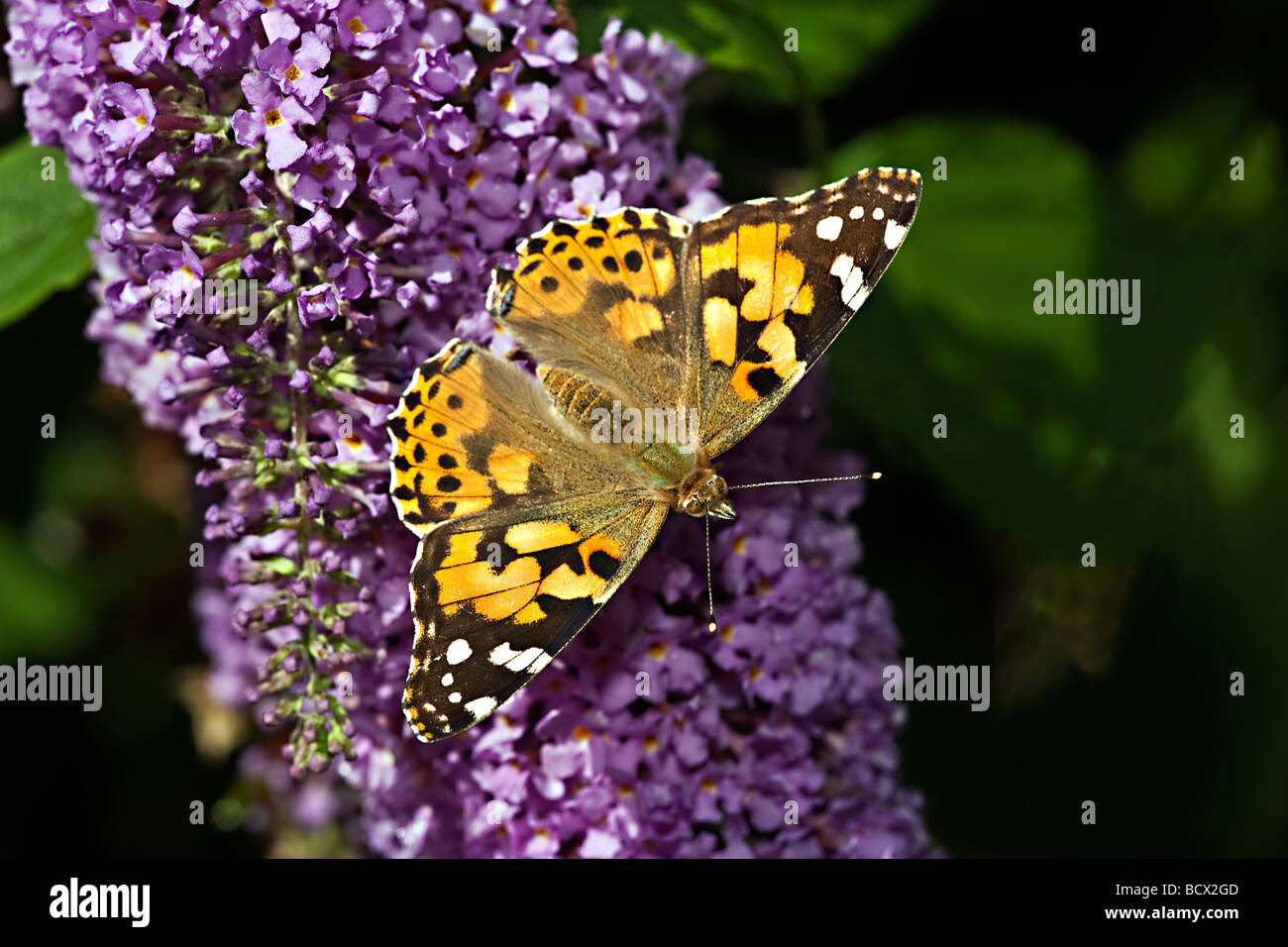 PAINTED LADY BUTTERFLY (Vanessa cardui) on Buddleia (Buddleia davidii) - Stock Image