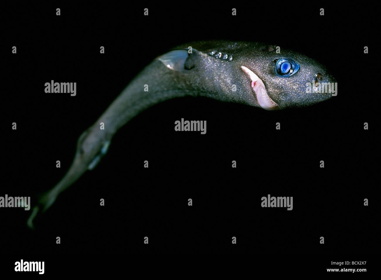 Deep sea fish stock photos deep sea fish stock images for Deep sea fish