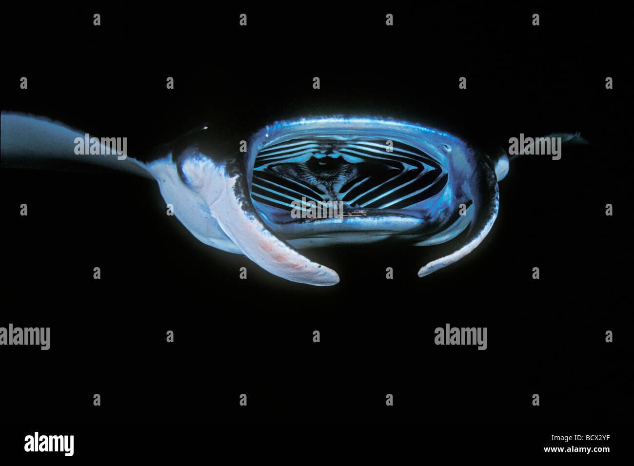 manta rays feeding on plankton at night, Manta birostris, Hawaii, USA, Kona, Big Island, Pacific Ocean - Stock Image
