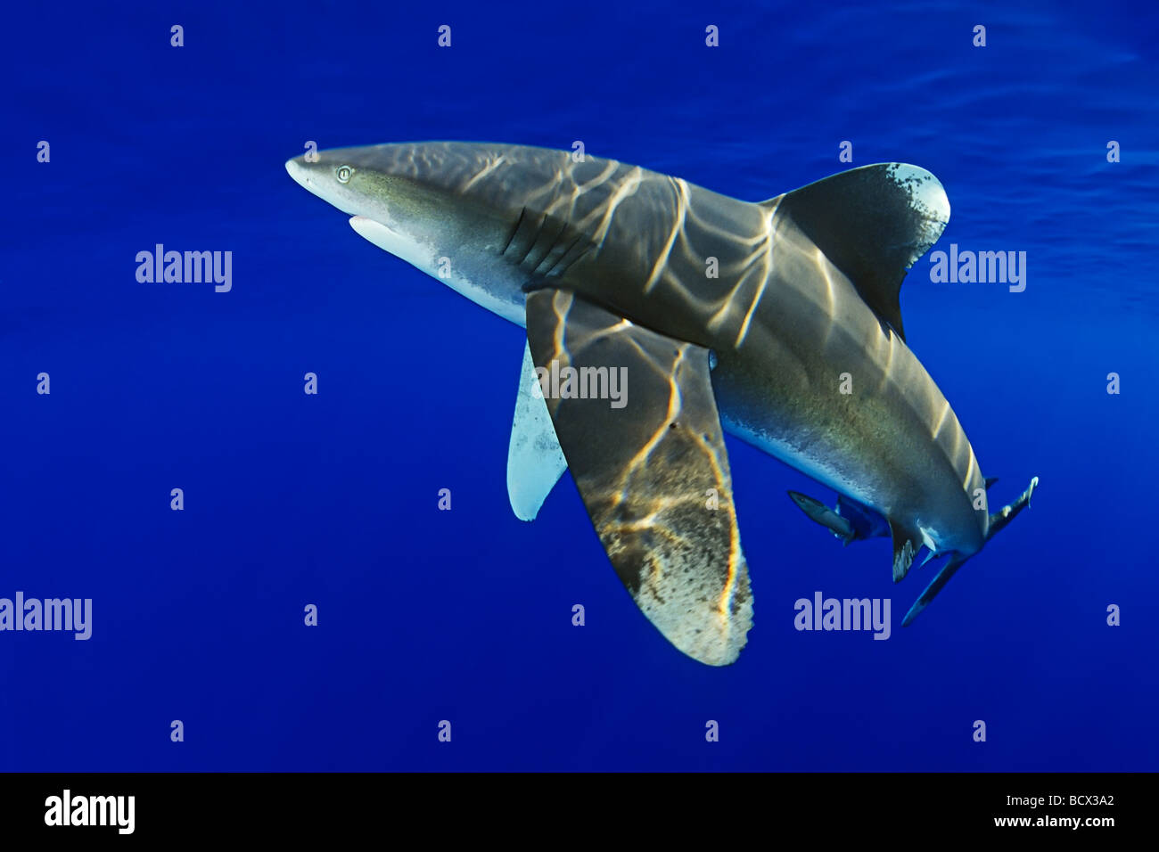 Oceanic Whitetip Sharks Carcharhinus longimanus Kona Coast Big Island Pacific Ocean Hawaii USA - Stock Image